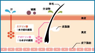 アポクリン汗腺・エクリン汗腺の説明